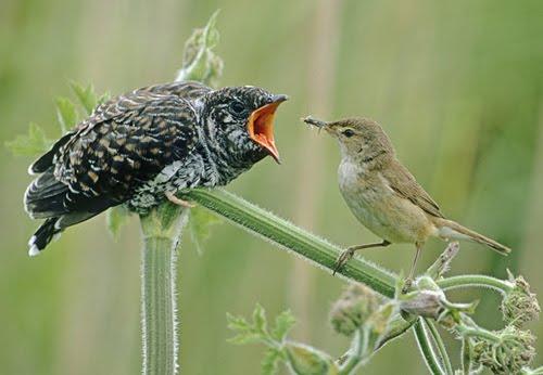 nest parasite